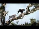 Big bird is attacked by claws by Leopard ⇒ Revenge Eagle - Wild Discovery Animals
