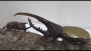 Борьба за сок Dynastes hercules 153mm Vs Allomyrina dichotoma 75mm