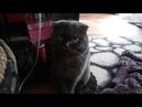 Кот британец дежурит утром возле кровати ждет когда встанет хозяин