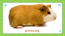 Guinea Pig Pets and Farm Animals Flashcards for Kids