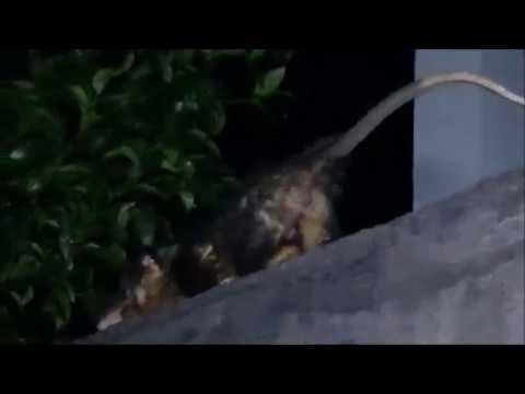 Caçada ecológica a 2 gambás Saruês Não matamos os bichinhos 2 480p