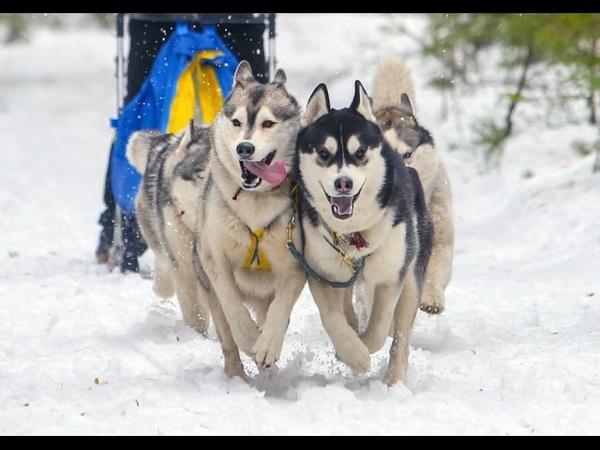 Спортивный фестиваль «Северные псы»