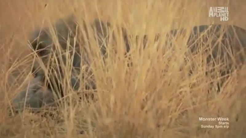 Гиена переживает три жестоких атаки льва