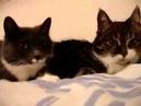 Разговор двух кошек. Приколы про кошек. Смешные кошки.