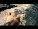 Phil le lion trop affectueux du parc safari de Crimée ne cesse de surprendre les touristes