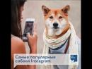 Самые популярные собаки Instagram