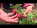 Чем отличается клубника от земляники Как уберечь растения от болезней и вредителей