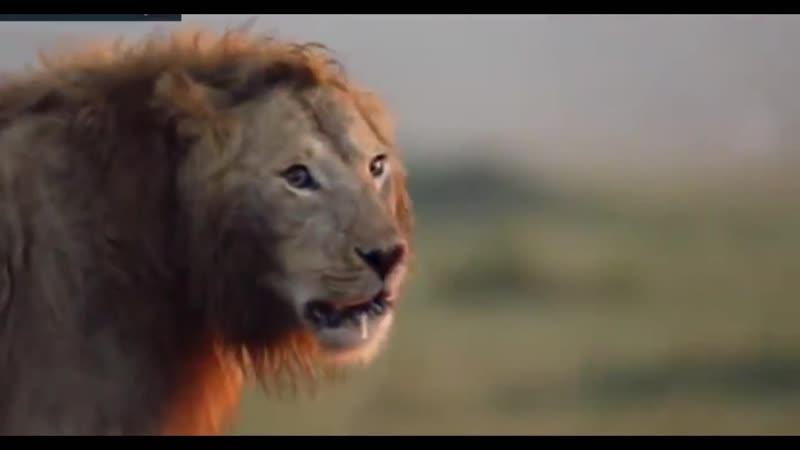 Стая гиен атаковала льва. Он должен бороться с визжащими тварями. У них организованная коалиция Очень напомнило текущее положени