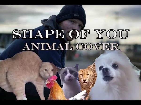 Ed Sheeran - Shape Of You (Kucing, Anjing, Ayam/Animal Cover)
