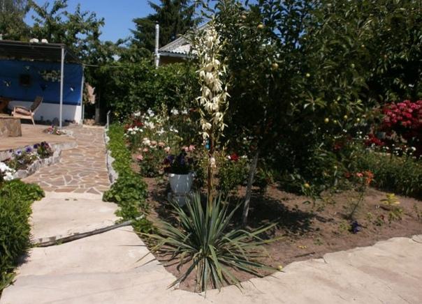 Юкка садовая (нитчатая) Юкка садовая (или нитчатая) одно из самых красивых и необычных цветов, выращиваемых в открытом грунте. Хотя назвать ее чисто садовым цветком нельзя. Это растение можно с