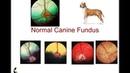 Офтальмоскопия сетчатки у собак, кошек и лошадей