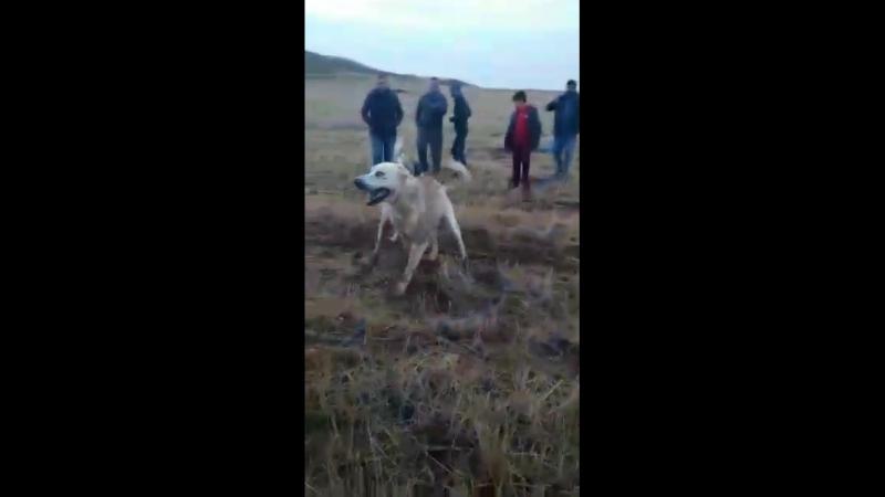 Anil gurbuz: Kozakli baş köpeği alos kozaklidan sinanin halo