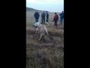 Anil gurbuz Kozakli baş köpeği alos kozaklidan sinanin halo