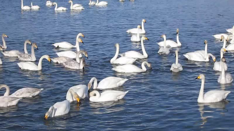 Лебединое озеро 1