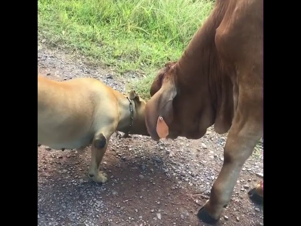 The love these to have for each other is beautiful 🐶🐮- 994520