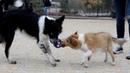Sheltie puppy Undertaker [4 months]