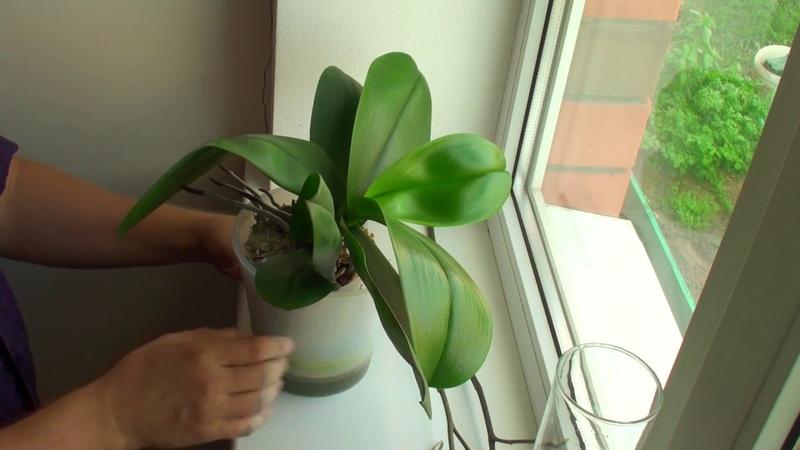 ОРХИДЕЯ ОТЦВЕЛА что делать с ЦВЕТОНОСАМИ черенкую орхидею 2 цветоносами