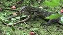 Варан убивает змею
