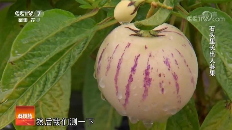 Что может расти на каменистой пустоши? Плод женьшеня ''ЖэньШэньГо'' , или ''ТаоЮань'' (персиковый сад), либо китайская груша ''Ш