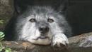 грустный волчонок · coub, коуб