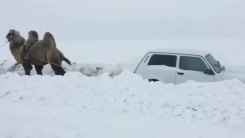 В Саратове верблюд вытянул застрявшую на дороге Ниву