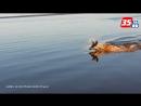 Рыбаки засняли как олень переплывает Кубенское озеро