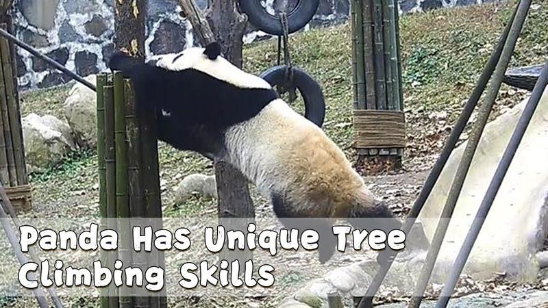Panda Has Unique Tree Climbing Skills   iPanda