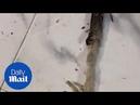 SHOCKING video shows a cobra regurgitating plastic waste