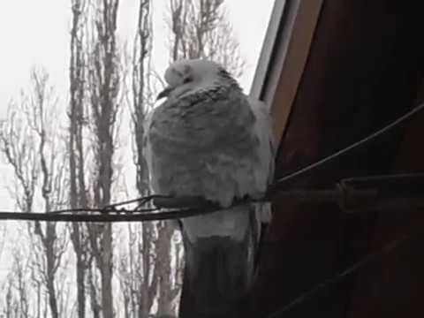 Голодный голубь