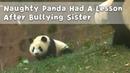 Naughty Panda Had A Lesson After Bullying Sister   iPanda