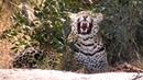 Молодой леопард Hosana не может уснуть вблизи антилоп, когда над его головой дико орёт влюблённая птица-мышь :( 11.08.2018