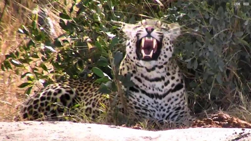 Молодой леопард Hosana не может уснуть вблизи антилоп когда над его головой дико орёт влюблённая птица мышь 11 08 2018