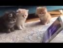 Котята смотрят мультик про смурфиков