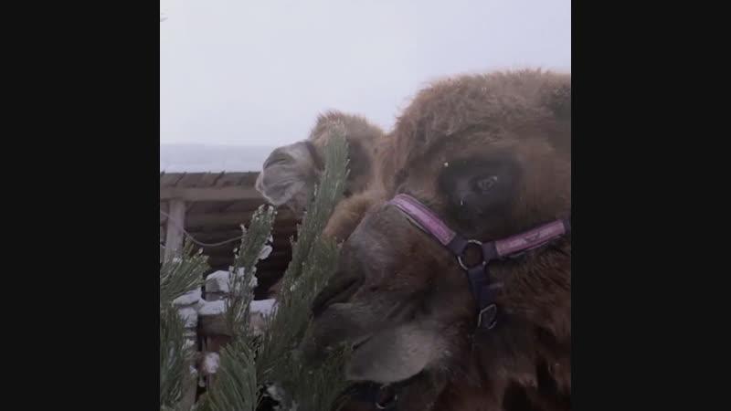 Для верблюдов новогоднее застолье только начинается
