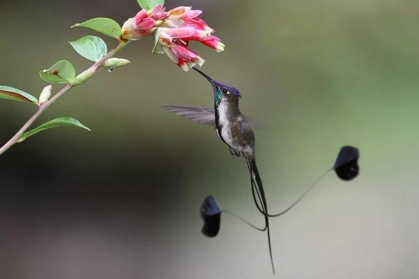 Дивный Шпательтэил (также ракетохвостая лоддигезия) один из самых редких и малоизученных видов колибри Он обитает исключительно в перуанском регионе Рио Уткумбуба на горных склонах высотой около