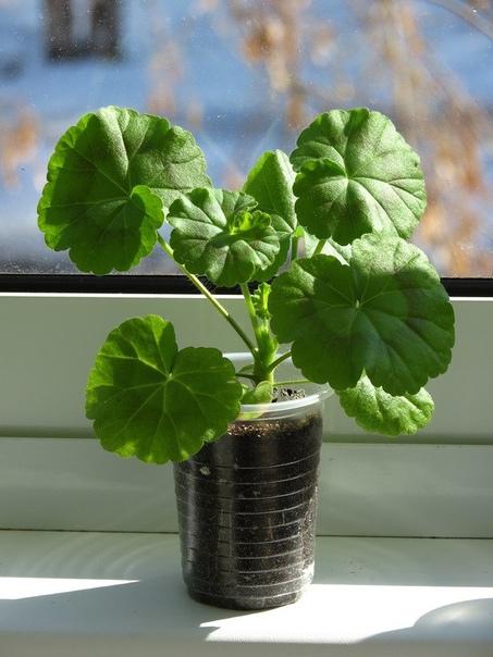 пеларгония из семян пеларгонию из семян вырастить очень просто.известно, что растения, выращенные из семян дома, более жизнестойки, нежели цветы с прилавков магазинов. по сравнению с
