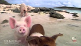 Swimming with Pigs! - The Bachelor