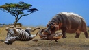 Big Mistake of the Zebra when crossing the river, lucky Hippo help escape from Crocodile