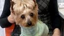 Двусторонняя перезрелая возрастная катаракта у собаки породы йоркширский терьер