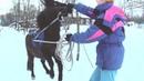 Как заездить пони в упряжь