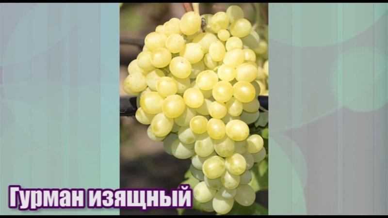 Виноград Гурман Изящный - ранний и очень урожайный.