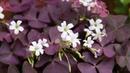 Цветок счастья кислица оксалис Особенности ухода в осенне зимний период