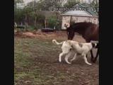 Очаровательная дружба коня и волкодава