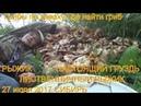 Поход в лес грибы настоящий груздь рыжики ищем по запаху 27 июля 2017 гриб настоящий груздь легко на