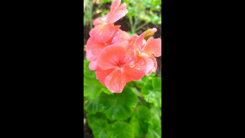 герань (пеларгония), выращенная из семян