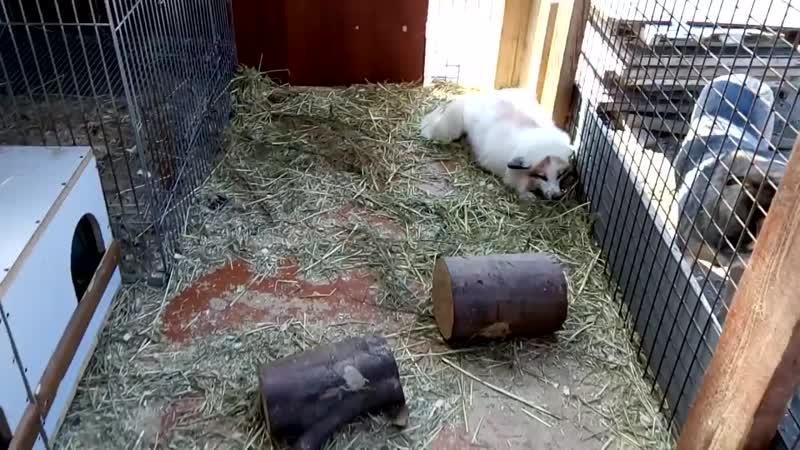 Так встречают лисички.Алиса и Харли