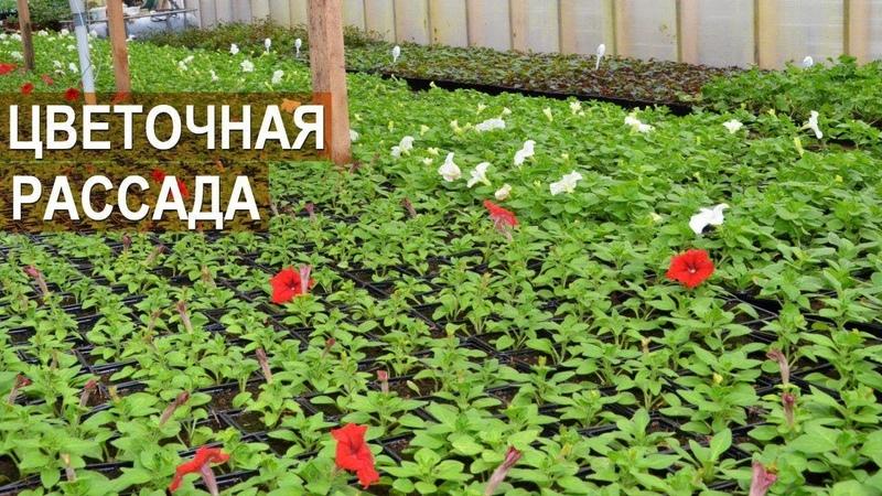 Выращивание цветочной рассады. Зелёный блогер Александра Кайгородцева.