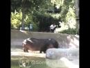 Бесстрашный американец отшлепал бегемота