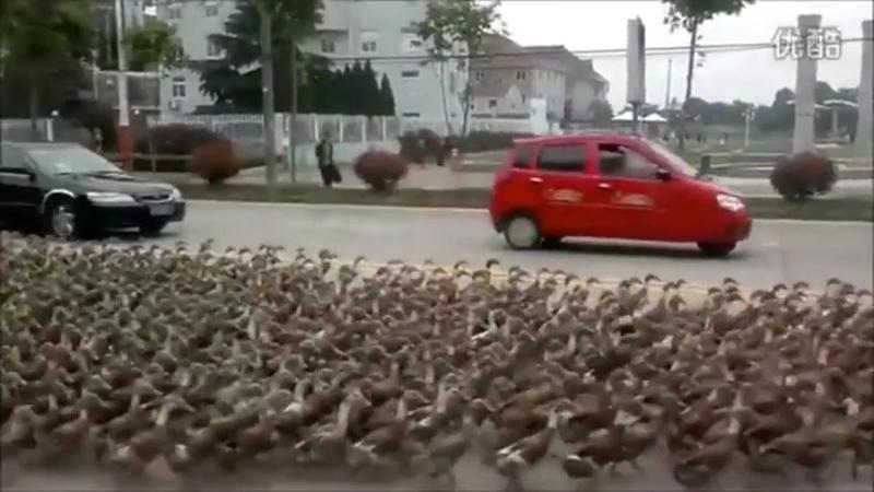 Ducks und cat nazi