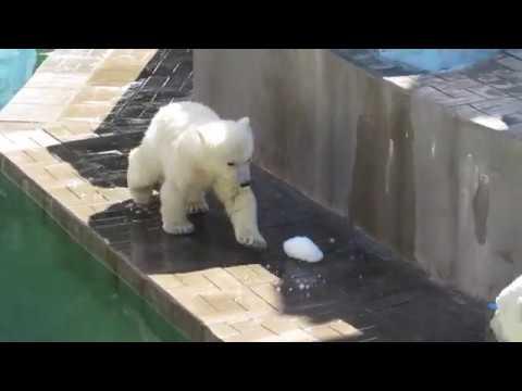 У медвежонка не получилось достать снежок из воды решил мячик достать 20 05 19